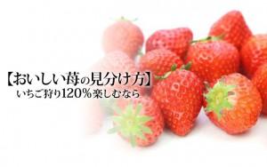 【おいしい苺の見分け方】いちご狩り120%楽しむなら