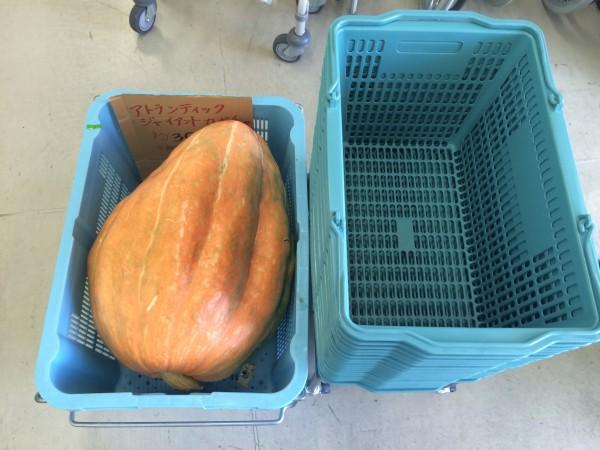 ゆらてぃく 巨大かぼちゃ