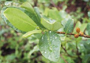 アンデス山脈コカの葉